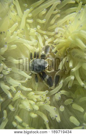 Anemone crab (Neopetrolisthes maculatus (Petrolisthes maculatus)live and hide from predators in sea anemones (Heteractis malu).
