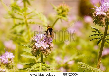 View on Bumblebees at Work. Bees pollinate the blossoms of Garden Flowers. A Bumblebee sits on a Flower