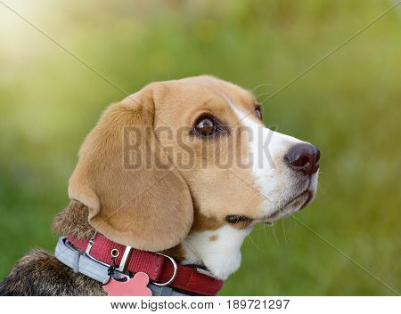 Beagle dog portrait on the nature. Female beagle outdoor