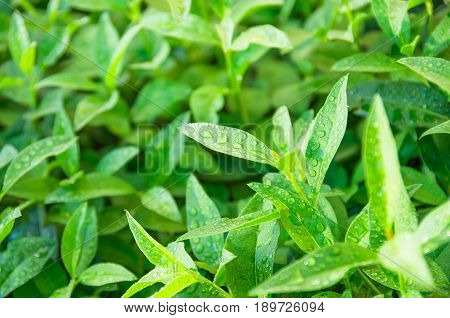 Green sprouts and tea leaves ripening on a bush agrarian background