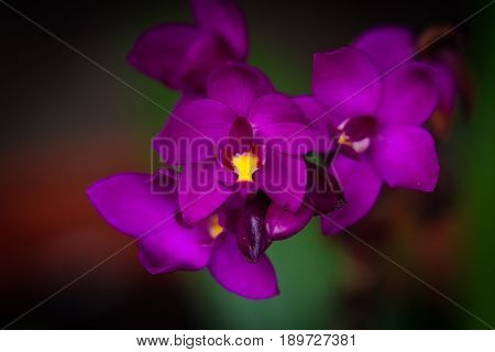 Cluster Of Purple Orchids