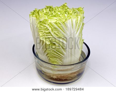 One head of Napa cabbage growing in a transparent bowl of water upright on a white quartz kitchen countertop close-up. Growing Napa cabbage in a bowl of water.