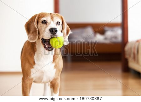 Beagle dog with tennis ball wants to play