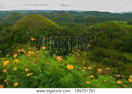 Chocolate Hills And Yellow Flowers, Bohol Island, Philippines