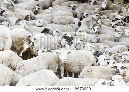 Group Of Sheep In Nature