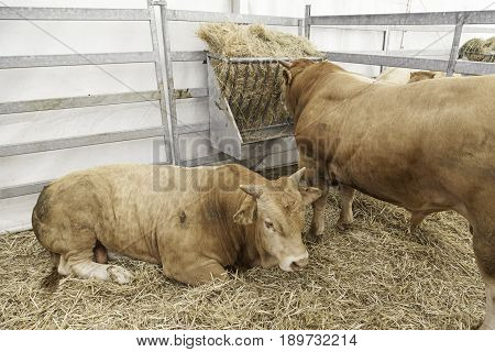 Cows In The Barn