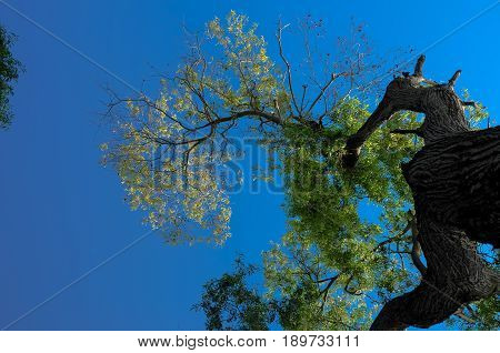 A low angle view from the bottom of giant tree showing branches and leaves against the blue sky.