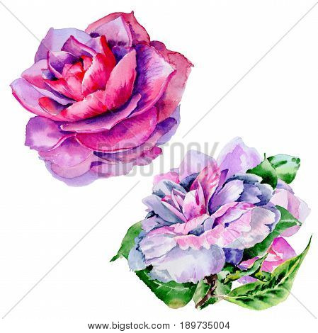 Wildflower peony flower in a watercolor style isolated. Full name of the plant: peony, Peonies, camelia. Aquarelle wild flower for background, texture, wrapper pattern, frame or border.