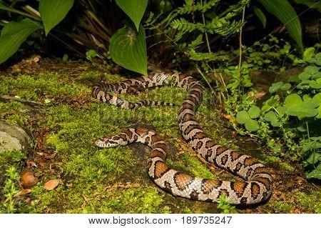 An Eastern Milk Snake in the garden.