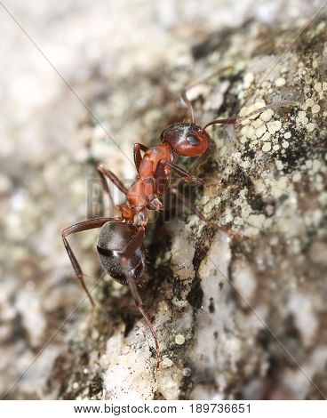 Red ant climbing on a rock macro close-up