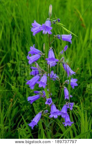 The bellflower Siberian is photographed closeup .