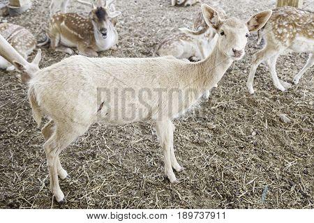 Young Deer Herd In A Zoo