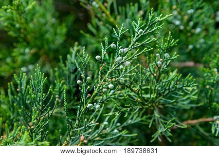 The juniper berries are photographed on branch
