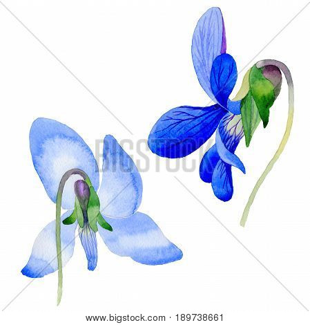 Wildflower Viola papilionacea flower in a watercolor style isolated. Full name of the plant: Viola papilionacea. Aquarelle wild flower for background, texture, wrapper pattern, frame or border.