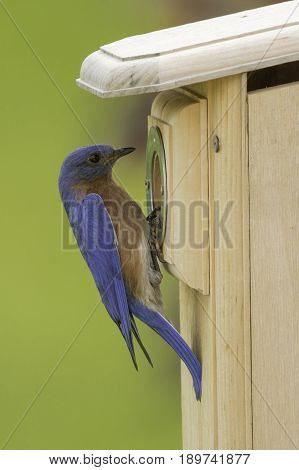 A male Eastern Bluebird (sialia sialis), inspecting a nesting box, in Taneytown, Carroll County, Maryland, USA.
