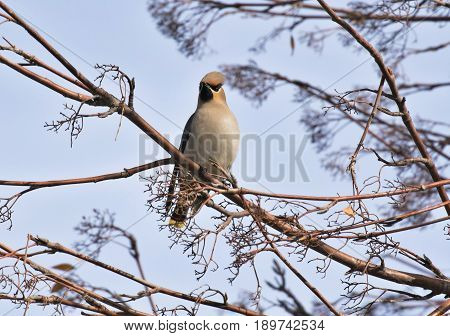 the Waxwing sitting on a branch of Rowan in sunny day