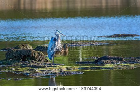 Great Blue Heron standing in the sun on a small island in a Chesapeake Bay pond