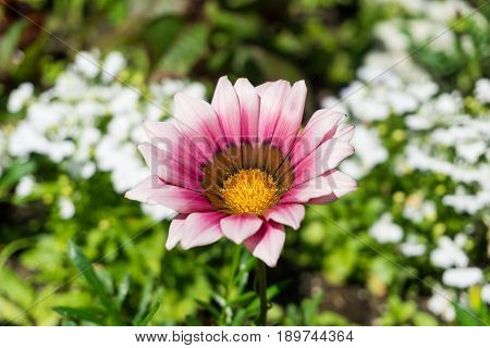 View on a beautiful white and pink Flower. Close-up of a Gazania Flower. Garden Flowers. Blooming Flowers