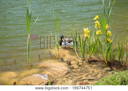 Bright sunlight shining on male drake duck nestled on rock beside pond with bright yellow summer flowers