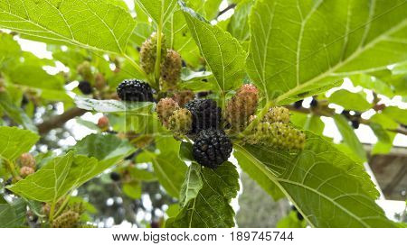 Fresh ripe mulberry berries on tree. Black ripe and red unripe mulberries