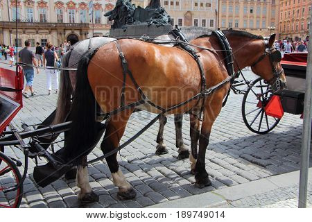 Two horses bay and gray hitching up in Prague