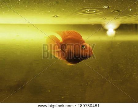 Goldfish Ryukin swimming in aquarium on yellow background.