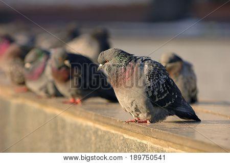Diagonal view on gray doves city birds sitting on the street stone sidewalk. Dove portrait. City park birds of peace