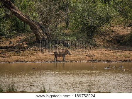 Warthog Near A Waterhole At The Hluhluwe Imfolozi Park