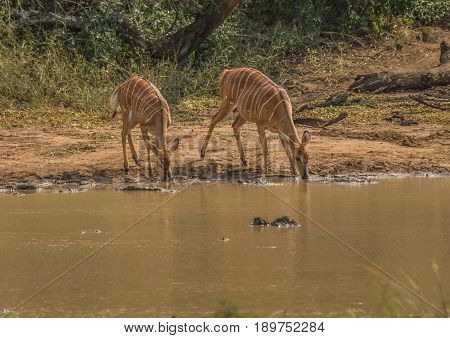 Nyala female prepare to drink from a waterhole at the Hluhluwe iMfolozi Park in South Africa