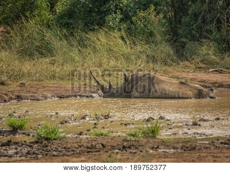 White rhinoceros laying in the mud near a waterhole at the Hluhluwe iMfolozi Park in South Africa
