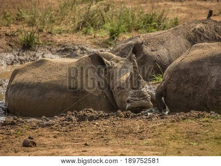 White Rhinoceros Laying In The Mud Near A Waterhole At The Hluhluwe Imfolozi Park