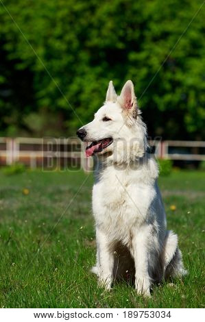 The dog breed white swiss shepherd dog on green grass