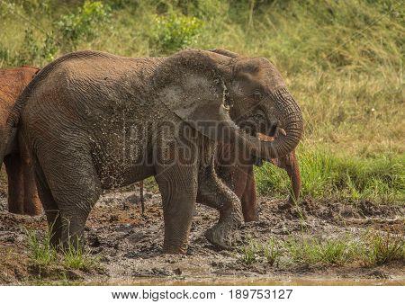 African Savannah Elephants At A Waterhole At The Hluhluwe Imfolozi Park
