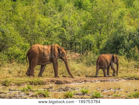 African Savannah Elephant Mother With Her Child At A Waterhole At The Hluhluwe Imfolozi Park
