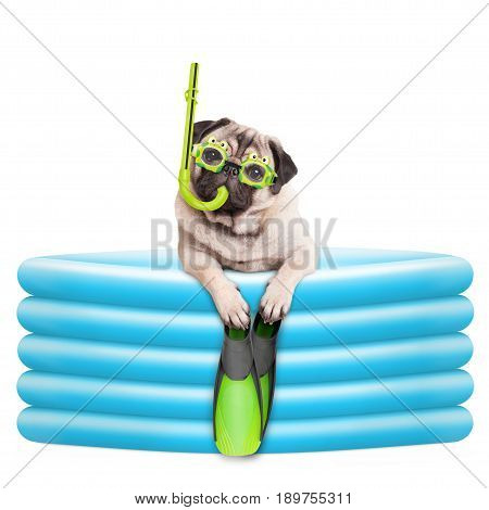 funny summer pug dog with goggles snorkel and flippers in inflatable pool isolated on white background