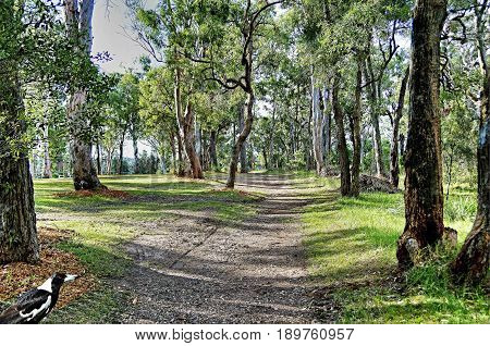 Bush Track - Landscape. Hill top nature walk amongst Australian Gum trees with delicate sunlight falling on the green grass bordering the leaf strewn dirt country path that winds its way through the beauty of nature.