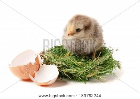 baby chicken with broken eggshell in the straw nest on white background.