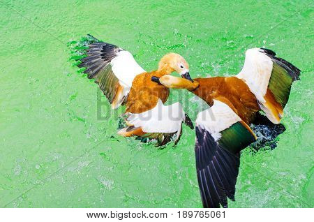 Mallard Ducks Fighting Each Other In Green Turquoise Water During Mating Season