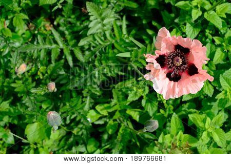 Oriental Poppy Papaver Orientale 'Cedric Morris' blooming in the garden.