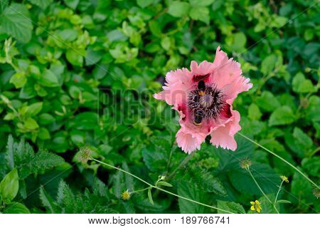 Oriental Poppy Papaver Orientale 'Cedric Morris' blooming in the garden with two bees seen gathering nectar