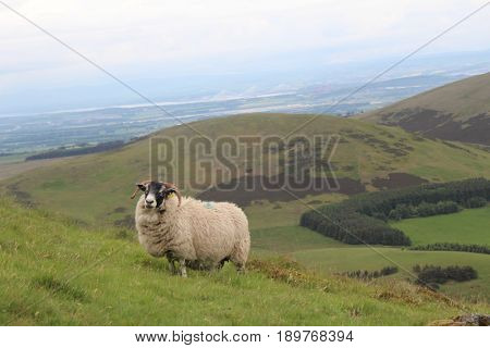 Male Sheep Standing Upon Pentland Hills Edinburgh