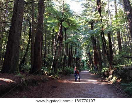 Woman and her daughter hike in Giant Redwoods forests in Rotorua North Island New Zealand. California redwoods can grow over 350 ft tall and live to 2000 years old.