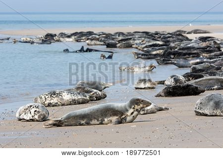Grey seals resting at the beach of Helgoland Germany