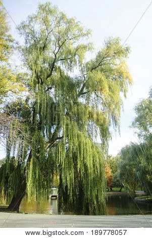 Huge weeping willow leans over pond on Boston Common