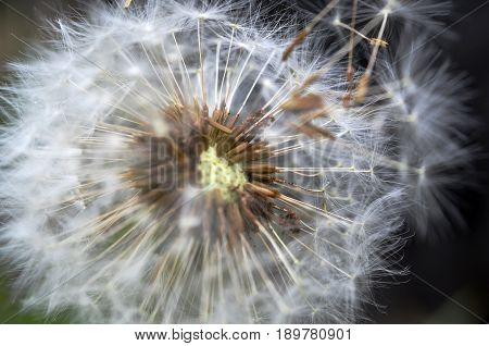 A close up image of dandelion seeds blowing in the wind.