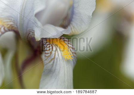 Flower of a Croatian iris (Iris x croatica)