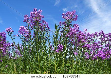 Hesperis matronalis - Sweet rocket - growing against a cloudy blue sky
