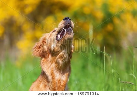 Golden Retriever Snatches For Something