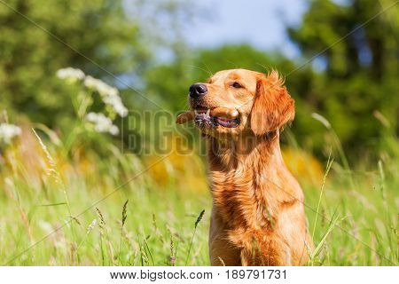 Golden Retriever With A Sausage In The Snout