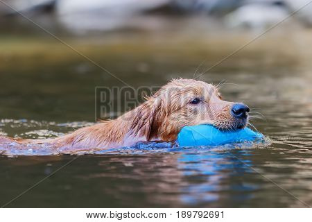 Golden Retriever With A Treat Bag In A River